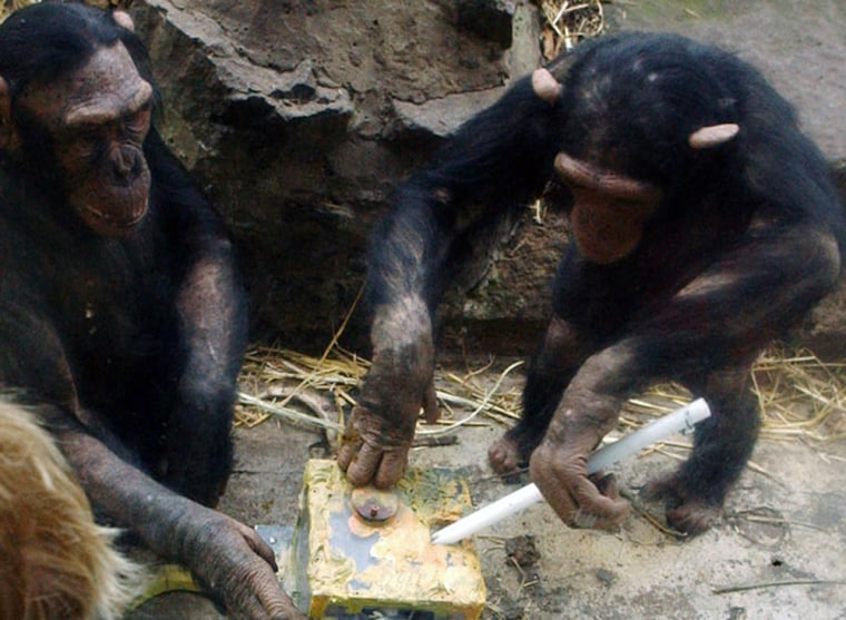 Chimpanzees at Edinburgh Zoo working on a version of one of the tool-using problems included in the new studies.