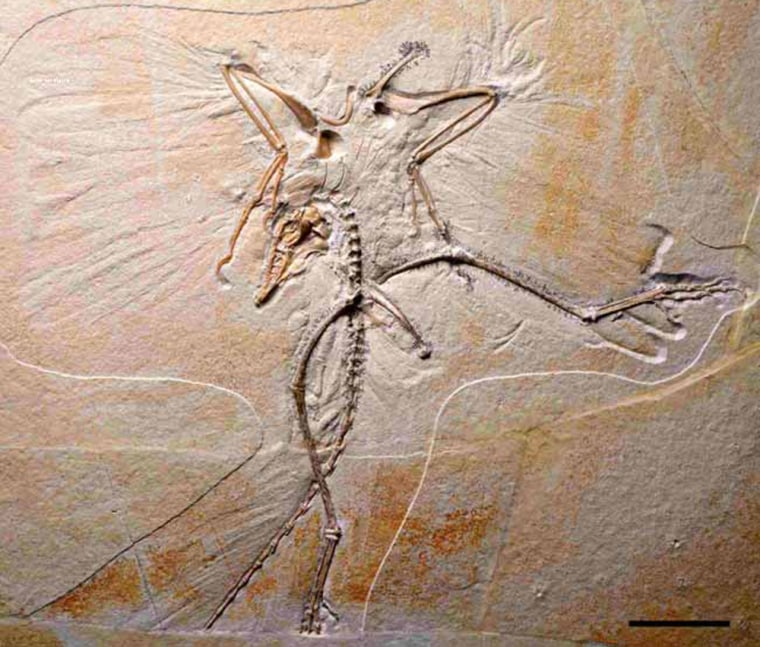 An image of a skeleton with wing and tail feather impressionsis the tenth specimen of the first known bird, Archaeopteryx. The new specimen provides important details on the feet and skull of these birds and strengthens the widely but not universally accepted argument that modern birds arose from dinosaurs.