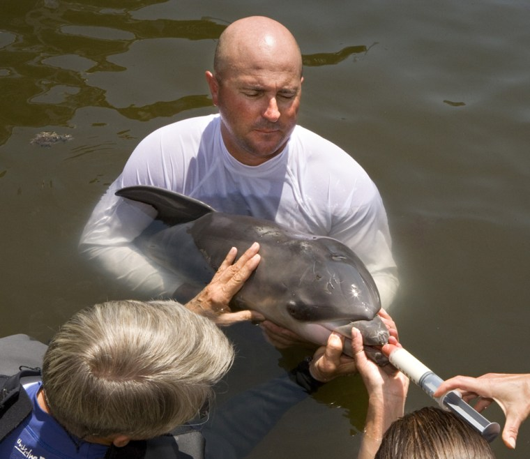 Art Cooper cradles a day-old dolphin calf as other volunteers at the Marine Mammal Conservancy hand feed the infant to provide supplementary nutrition in Key Largo, Fla. The male baby was born Monday to a deaf Atlantic bottlenose dolphin died Friday.