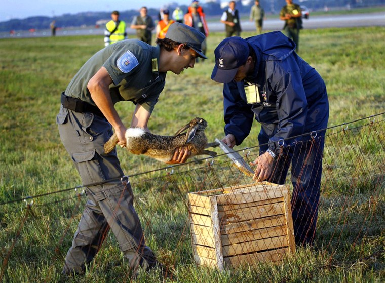 A hare is caged early Sunday afterbeing captured on the Linate airport runway in Milan during a three-hour hunt. The airport was forced to close between 5 and 8 a.m. and 12 flights were rescheduled while200 volunteers used nets to capture the hares and move them to a safe haven. More than 50 hares were caught.