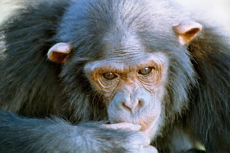 Studies have shown that chimps have culture, cooperate intelligently, and may also be altruistic. Now scientists learn that those enculturated by humans have greater capacity for learning.