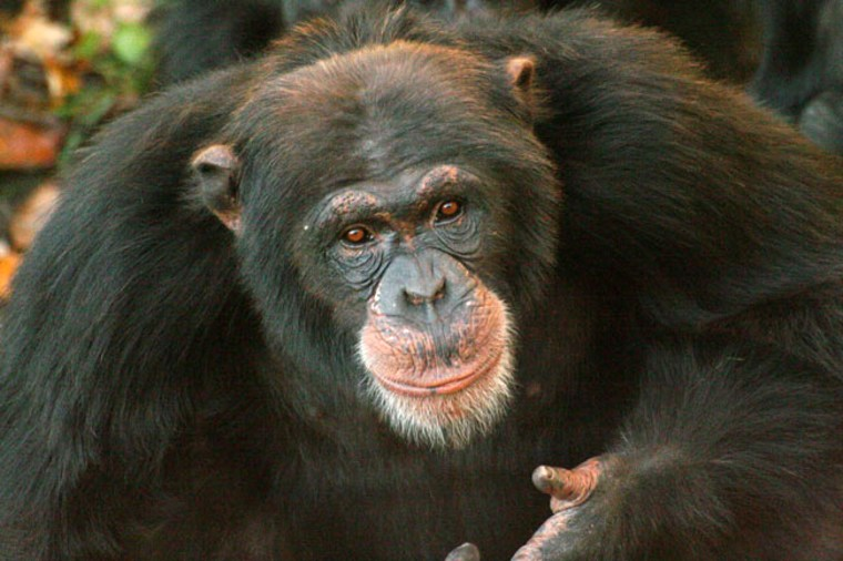 Chimpanzees have now shown they can help strangers at personal cost without apparent expectation of personal gain, a level of selfless behavior often claimed as unique to humans.