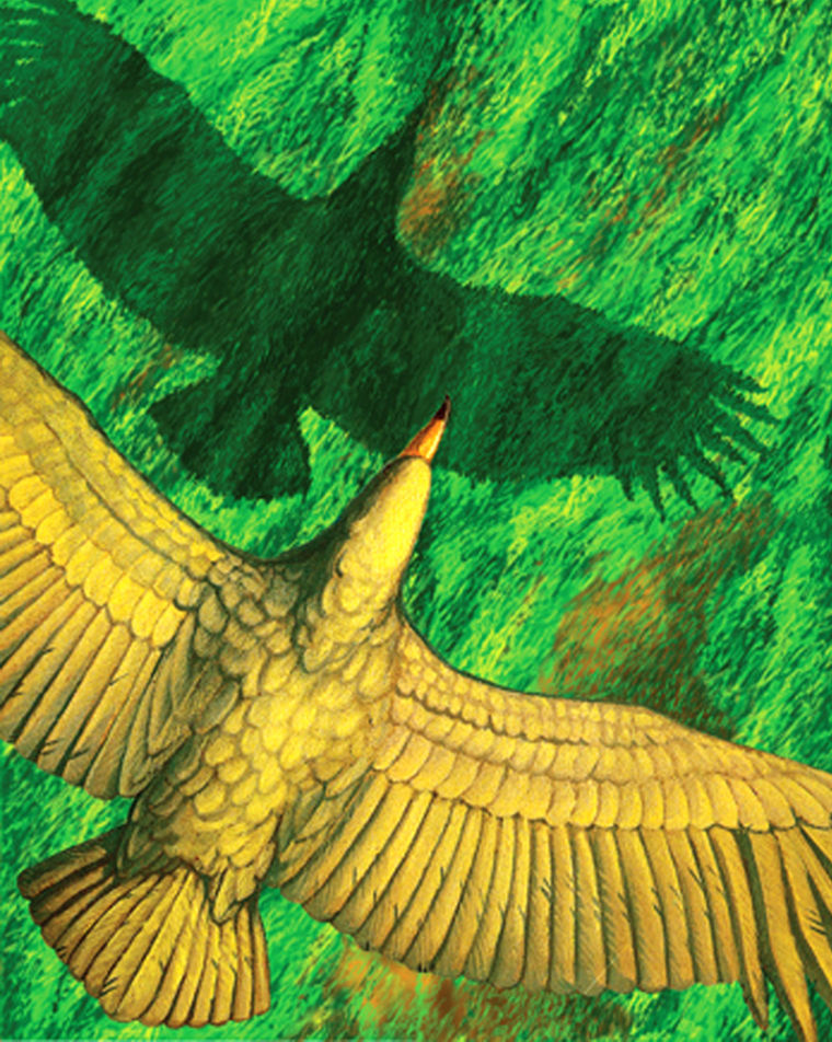 The bird known as Argentavis magnificens, shown in this artist's conception, was at about the theoretical size limit for a flying bird, a researcher says.