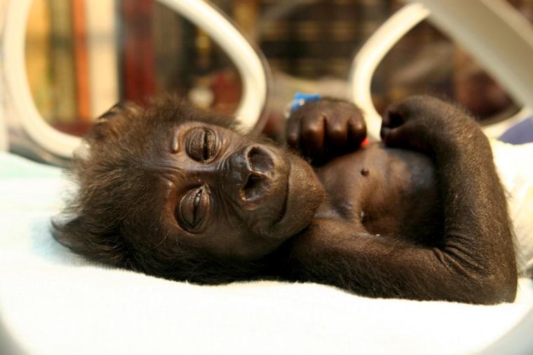 Baby gorilla Mary Zwo (which translates