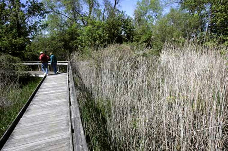 """A couple walks past last year's growth of Phragmites, also known as """"Giant Reed,"""" at Maumee Bay State Park in Oregon, Ohio. Invasive bamboo-like plants that grow taller than adults have choked out native plants in a marsh that once teemed with life along Lake Erie."""