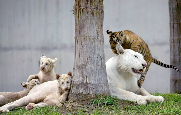 Bengal tiger cubs play with their mother at the zoo in Guadalajara, Mexico, Thursday, July 5, 2007.
