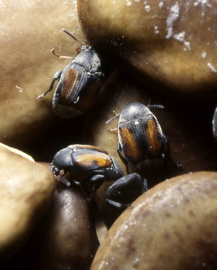 Smaller male seed beetles apparently have an advantage over larger males when it comes to scoring mates.