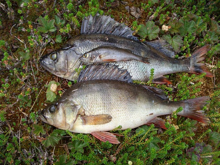 """Three Eurasian perch (Perca fluviatilis) of approximately equal age. The large individuals are """"giant cannibals,"""" which can occur if adults are over-fished."""