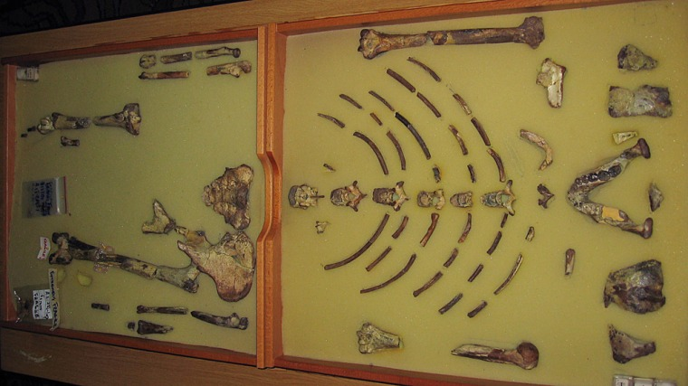 """The framed hominid fossil """"Lucy""""at a exhibition at the Ethiopian Natural History Museum in Addis Ababa in October 2006."""