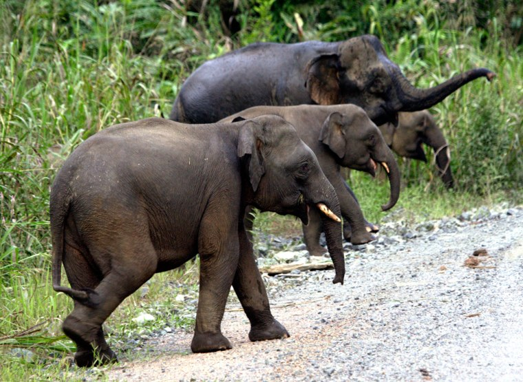 Borneo's pygmy elephants probably number fewer than 1,000, the World Wildlife Fund said in releasing a tracking study.