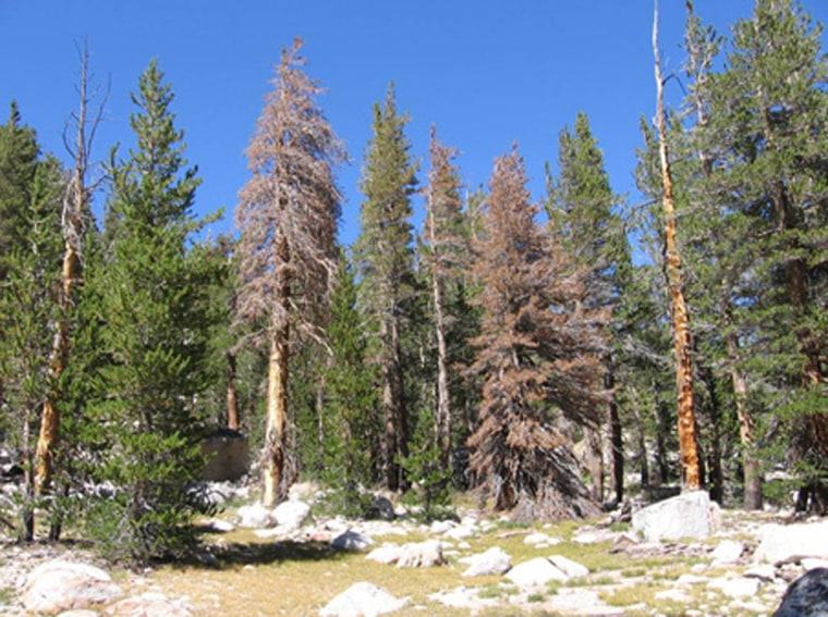 Dead lodgepole pines like these brown specimens are now common across the West.