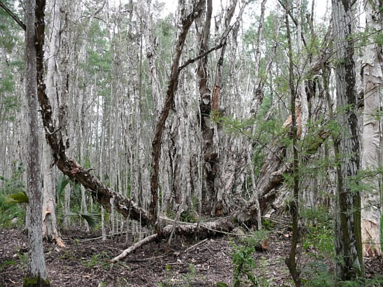 Eight human skeletons were found in this melaleuca forest in Ft. Myers, FL.