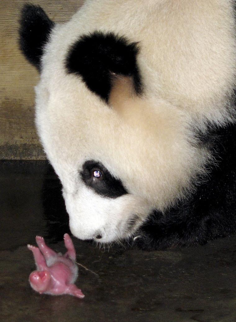 A female giant panda looks at her baby at China's Chengdu Giant Panda Breeding Center on Monday.