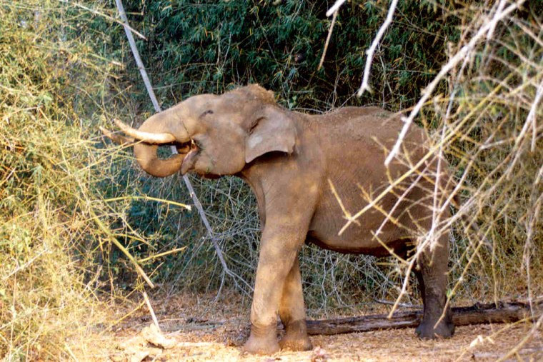 This elephant in Indiais one of 134 photographed to better track their movements, and protect them from poachers.