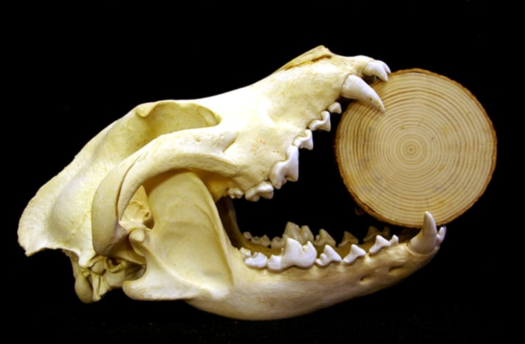 Wolf bones like the skull here are amore reliable measure ofcarbon levels over timethan tree rings, researchers atMichigan Technological University report.