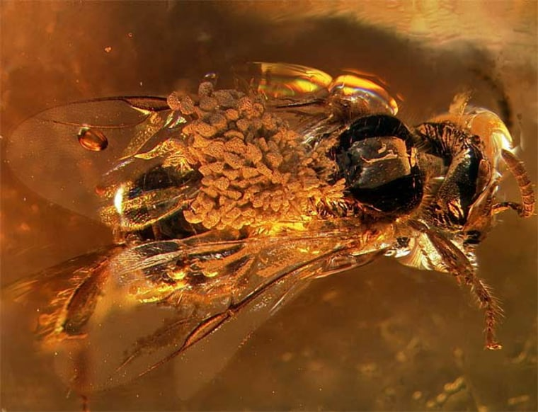 Scientists believe orchids were around when dinosaurs live after finding this bee fossil carrying pollen on its back.