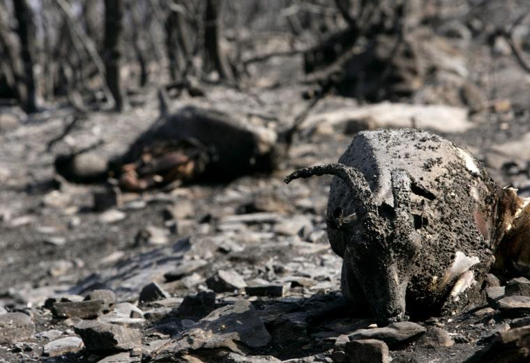 Dead goats lie in a burnt forest at Minthi village southwestern Greece