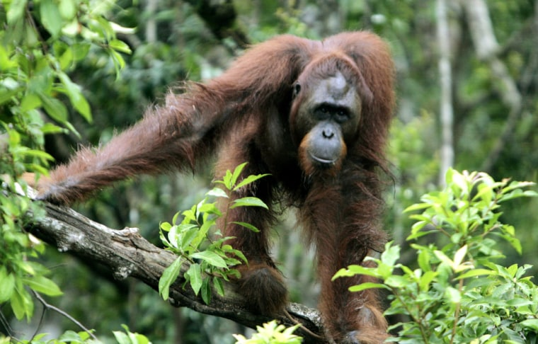 This orangutan is among the dozens at a rescue facility operated by the Borneo Orangutan Survival Fund. Most of the orangutans had lost their habitat.