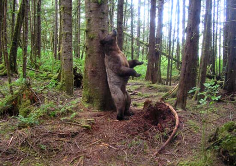 A grizzly bear rubs up against a tree to mark his scent, a scientist says.