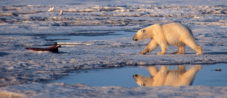 Computer predictions of a dramatic decline of sea ice in regions of the Arctic are confirmed by actual observations —and could have profound effects on marine mammals such as polar bears. Here, a polar bear walksin the Arctic National Wildlife Refuge.