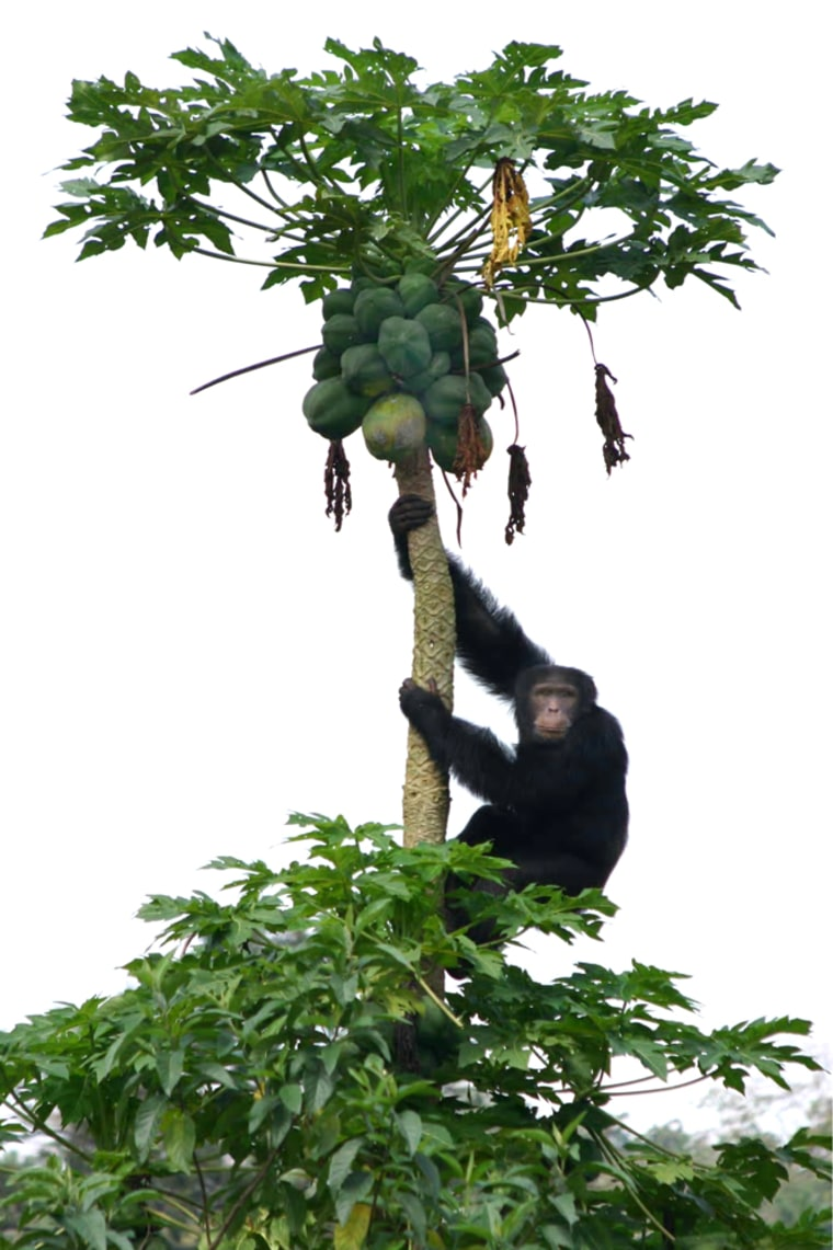 An adult male chimpanzee seeks to steal some papaya fruit from a farmer.Forbidden fruitseems to be abig hit with the ladies, a new study finds.
