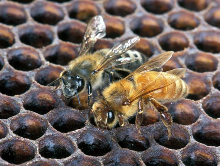 An Africanized honeybee, left, and a European honeybee sit side by side on honeycomb. Despite the color differences between these two bees, normally they can't be identified by eye.