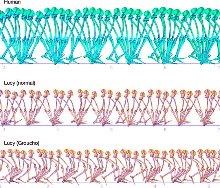 """A sequence of steps that may have been taken by our famous hominid relative, """"Lucy,"""" known formally as Australopithecus afarensis. Without an Achilles tendon, our ancestors would have been decent walkers but slow and inefficient runners."""