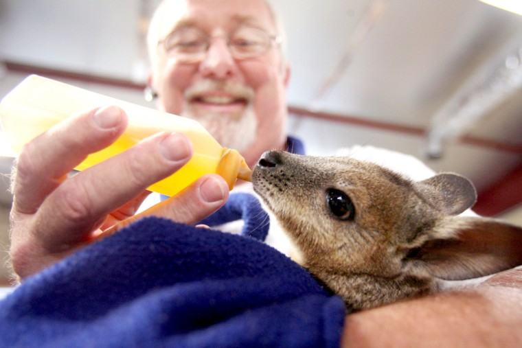 Joe Freed feeds his 10-month-old wallaby Skippy on Sept. 5 in Wichita, Kan.