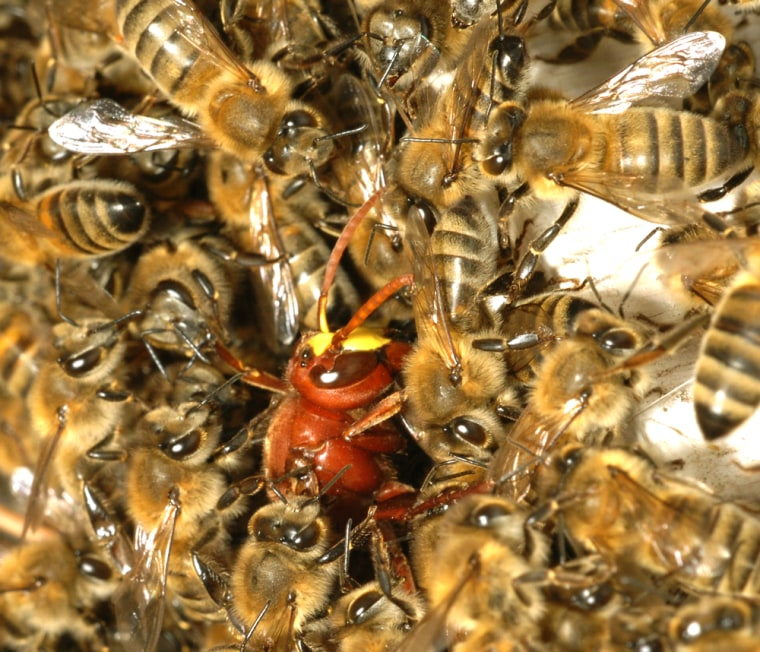 Honeybees trap their predator, the Oriental hornet, by gradually forming a ball of bees around it. They eventually kill it by asphyxiation. The hornet can be seen here as an orange insect surrounded by less colorful bees.