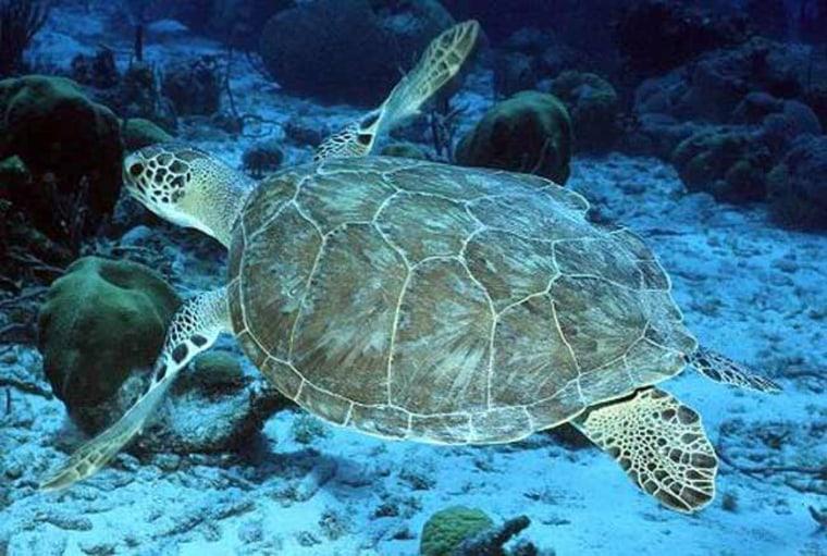A green sea turtle swims above the sea floor.
