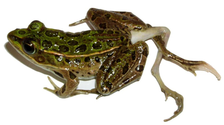 This frog is among those found whose deformities appear tied to farm runoff, a new study finds.