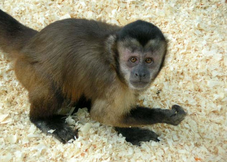 Tufted capuchin monkeys (Cebus apella) wash their feet and hands in urine to get comfort or sex, research now suggests.