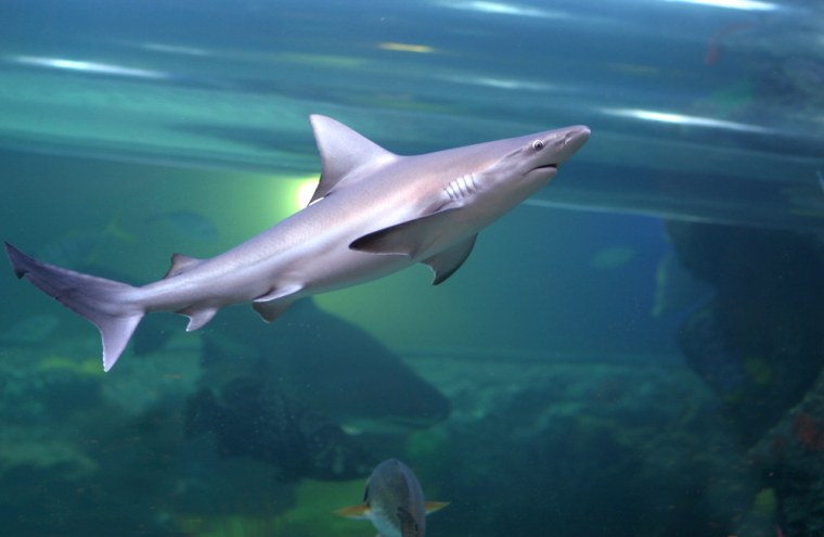 A purely entertainment attraction, the Golden Nugget's new $35 million pool has at its center a 200,000-gallon saltwater tank containing 16 species of sharks and 250 types of fish—all with a waterslide running through it.