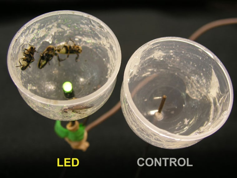 Field experiments showed that predatory fireflies were strongly attracted to artificial courtship signals (left) but not to non-flashing controls (right).