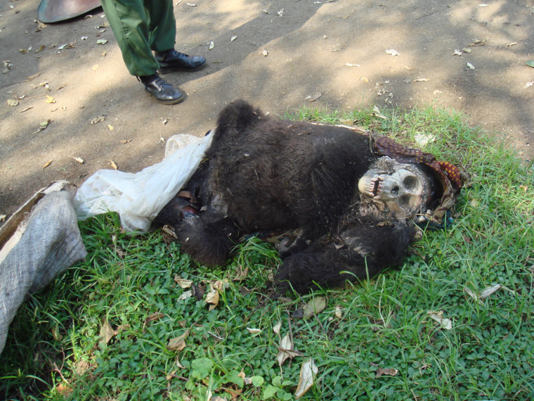 Congo park rangers found this slain infant mountain gorilla, and experts estimated ithad died a week or so earlier.