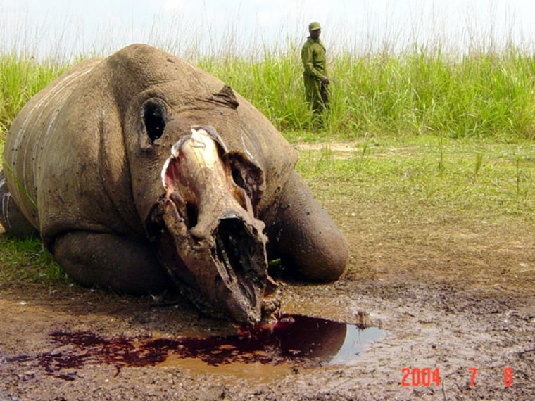 This northern white rhino was slaughtered inside Congo's Garamba National Park, it's head hacked off to secure the horns.