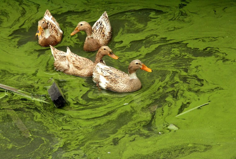 Ducks swim in the algae-rich Taihu Lake on April 18, afterChina's third-largest lake saw another algae outbreak.