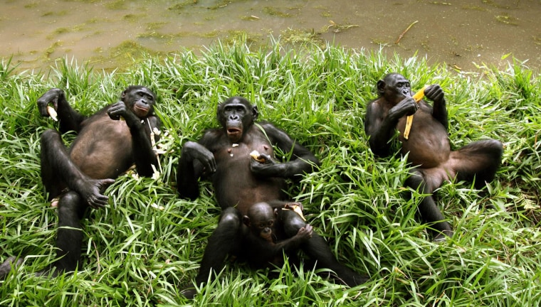 Bonobo apes, a primate unique to Congo and humankind's closest relative, rest at a sanctuary just outside the capital Kinshasa