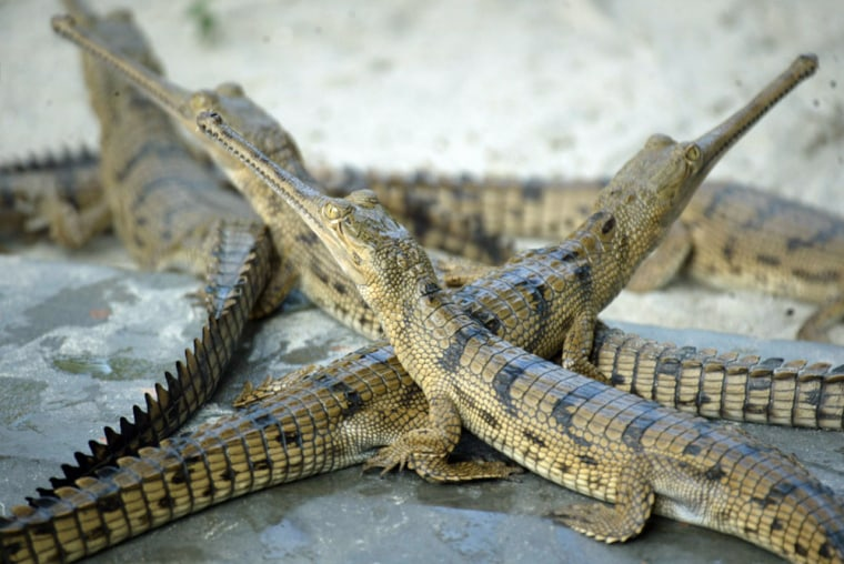 Gharial crocodiles rest beside a pond at their enclosure at a crocodile centre in Lucknow