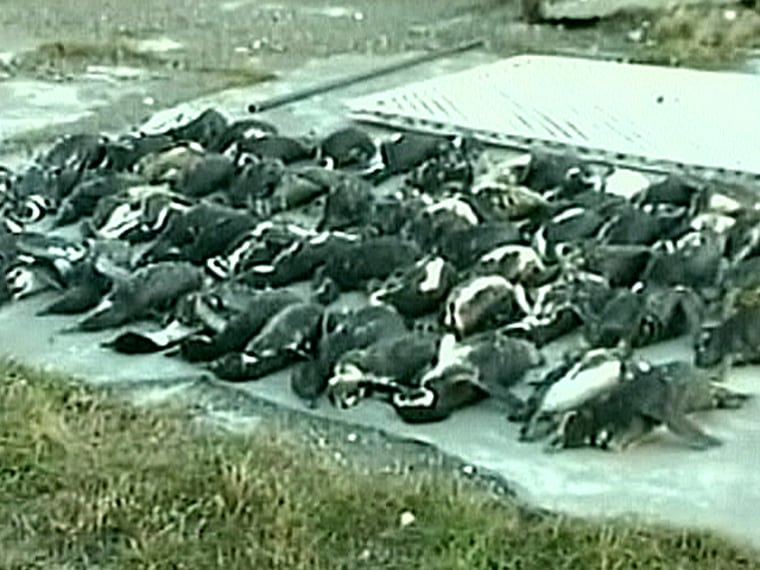 This image from television footage showssomeof thepengiuns found dead in southern Argentina placed on a plastic tarp for later burial.