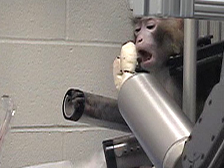 Researchers saidit took about three days formonkeys to learn to operate the robotarm, but after that they were able to reliably feedthemselves marshmallows, fruits and veggies using brainpower alone.