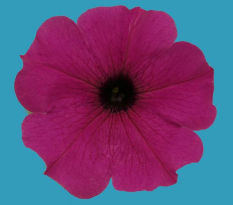 Rare blue petunias get their color from a malfunctioning molecular pump, according to research published Jan. 2 in the journal Cell Reports.