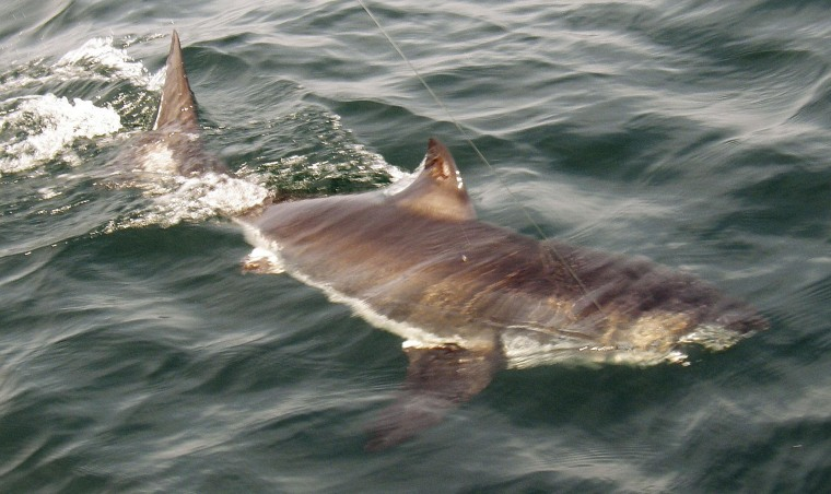 Image: A juvenile great white shark swimming in the Atlantic Ocean.
