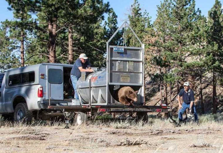 Nevada Department of Wildlife officials release a bear captured in August this year.