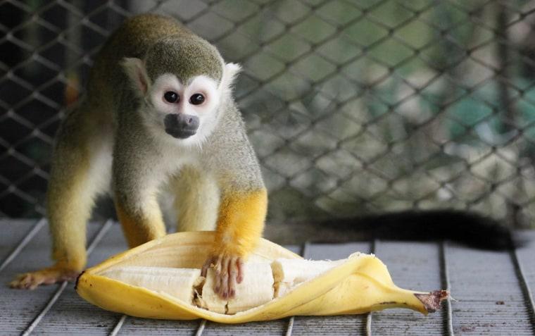 A male common squirrel monkey eats a banana at Royev Ruchey zoo in Krasnoyarsk, Russia, on June 22.