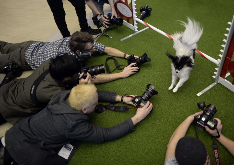 A Papillon jumps a hurdle during a press event at Madison Square Garden  January 15, 2014 to promote the First-ever Masters Agility Championship at the 138th Annual Westminster Kennel Club Dog Show. Dogs entered in the Agility trial will be on hand to demonstrate skills required to negotiate some of the challenging obstacles that they will need to negotiate on Saturday, February 8.