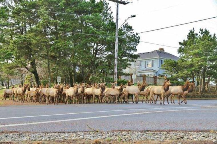 A herd of elk at a street crossing in Gearhart, Oregon