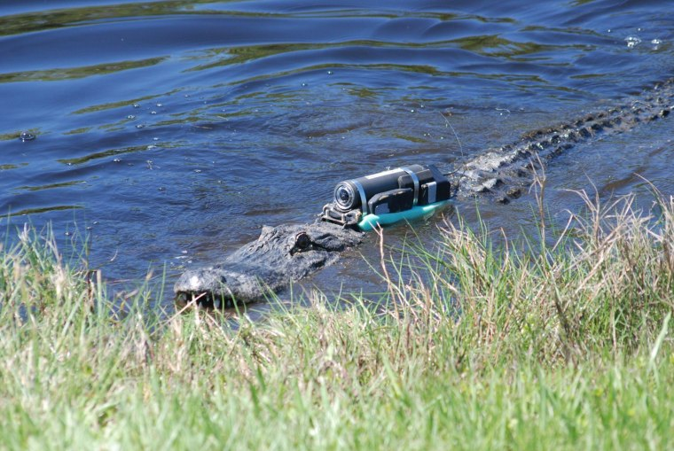 Alligator with Crittercam.
