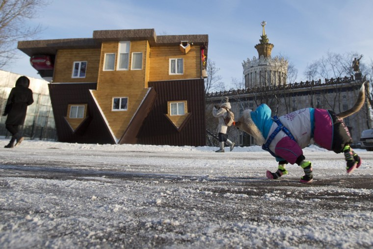 Image: A dog clad against cold runs in front of the Upside Down House
