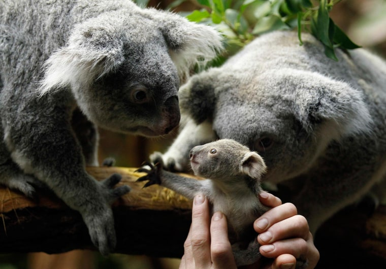 A zookeeper holds a koala joey towards its mother Eola (R) after a weighing procedure at the zoo in the western German city of Duisburg Jan. 22. The female Koala baby, which was born on July 2, 2013, weighs approximately 12.3 ounces and has yet to be named.